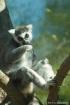 Ring-Tailed Lemur...