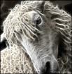 Sheep Spirit