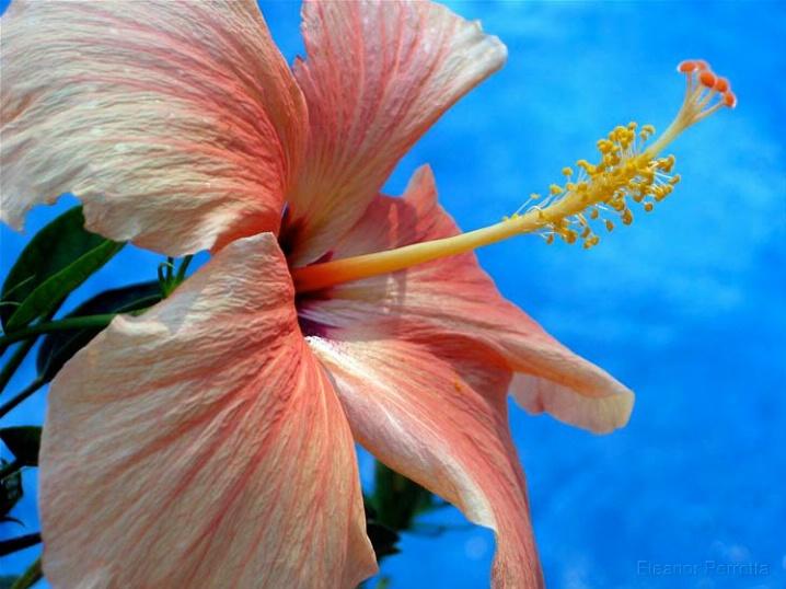 """""""Peach Hibiscus"""""""