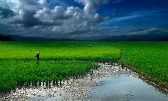 Ricefield #5