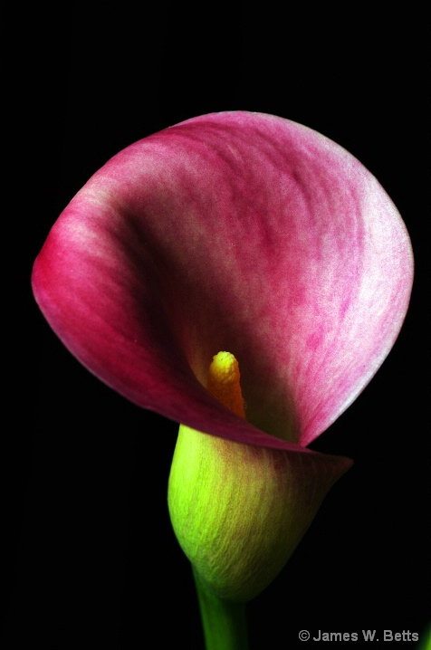 Calla Lily - ID: 5771234 © James W. Betts