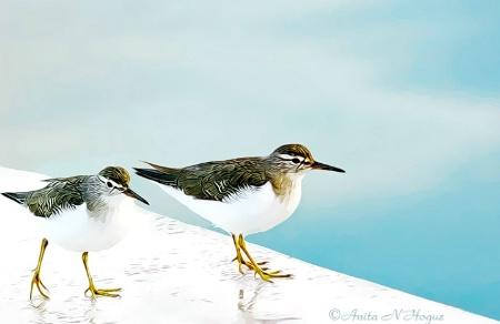 Sanderling Shorebirds