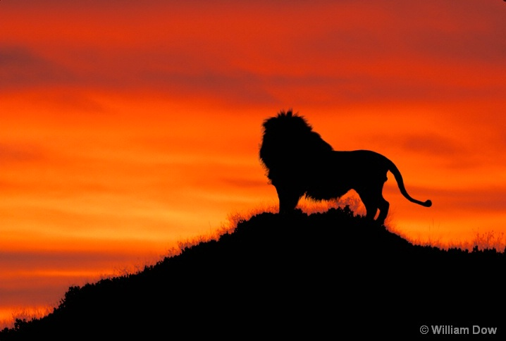 Leo's Sunset -African lion-Panthera leo - ID: 5792897 © William Dow