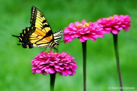 Swallowtail Visit #2