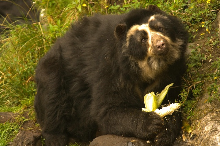 Spectacled Bear - ID: 5827360 © Averie C. Giles