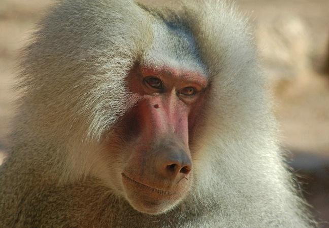Beautiful Baboon