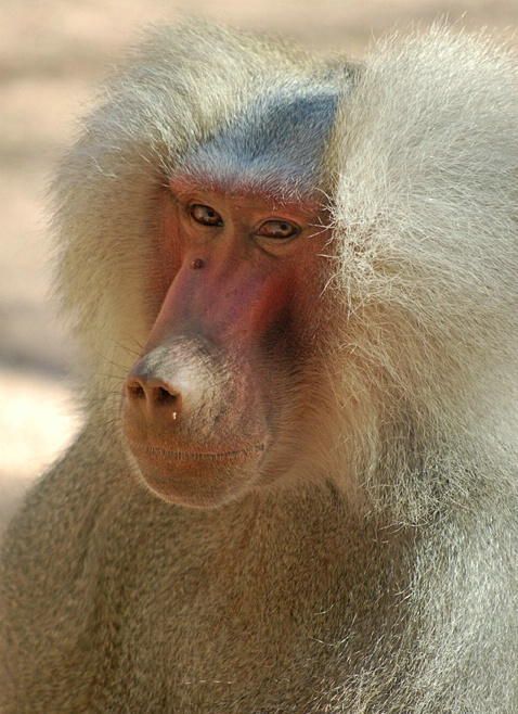 Different View of Beautiful Baboon