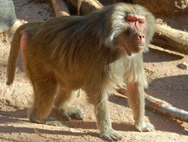 Baboon on all Fours
