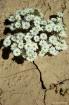 Desert Star Clust...