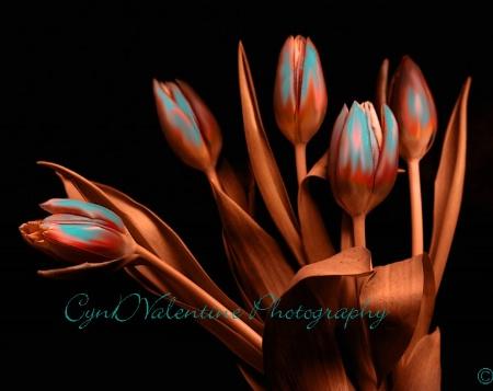 Tucson Tulips