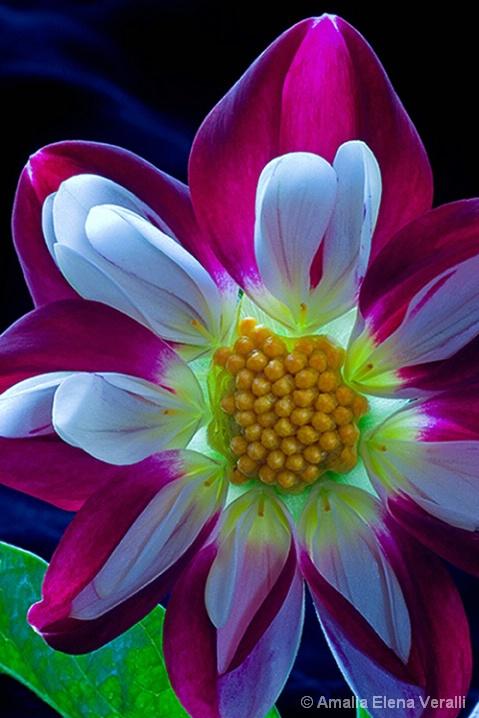 dahlia, red, white, flower, macro