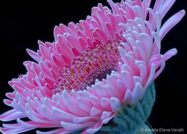 gerbera daisy, pink, flower, macro