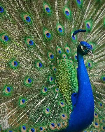 PEACOCK DANCES