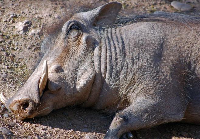 Shhh, Pumba is Sleeping