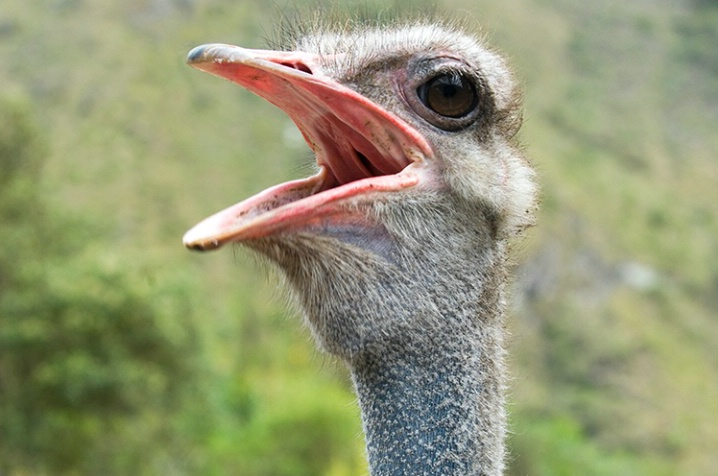 Outspoken Ostrich - ID: 5872568 © Averie C. Giles