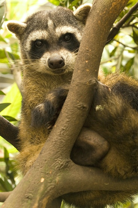 South American Racoon - ID: 5872713 © Averie C. Giles