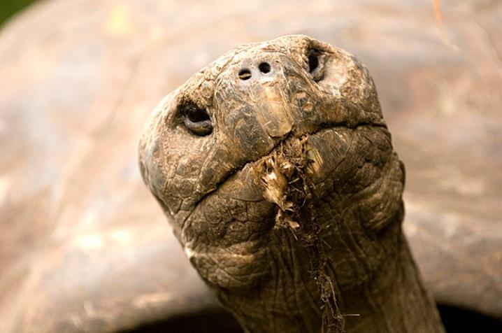 Galapagos Turtle - ID: 5872768 © Averie C. Giles