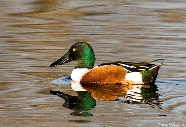 Male Northern Shoveler - ID: 5874053 © Thomas R. Wilson