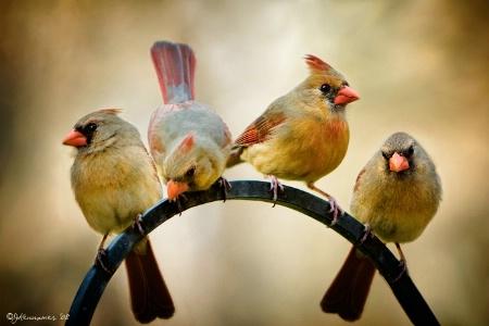 Cardinal Sisterhood