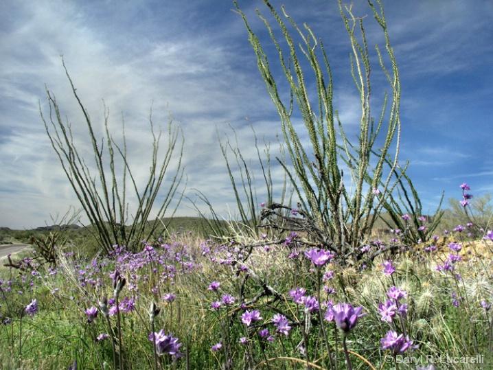Purple Flowers and Ocotillo Cactus - ID: 5886114 © Daryl R. Lucarelli