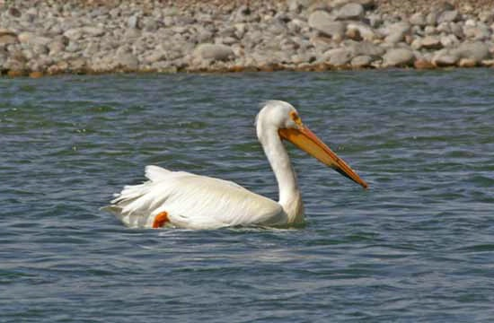 Pelican on Snake River in Teton Park - ID: 5899311 © Crystal E. Berryman