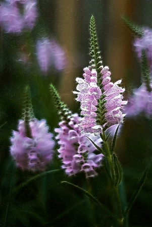 Wild Flowers Rhapsody