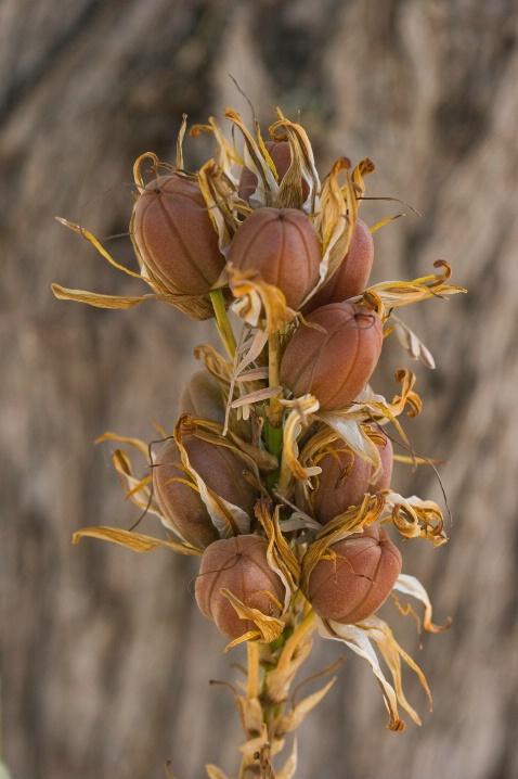 Dried Aloe Pods - ID: 5911497 © Patricia A. Casey