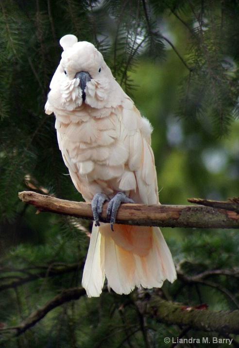 Salmon-Crested Cuckatoo - ID: 5923967 © Liandra Barry