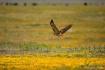 Springtime Hawk