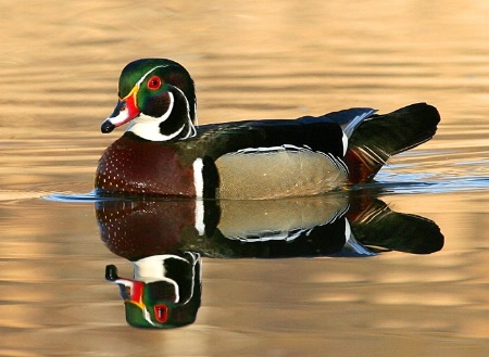 Primed Wood Duck