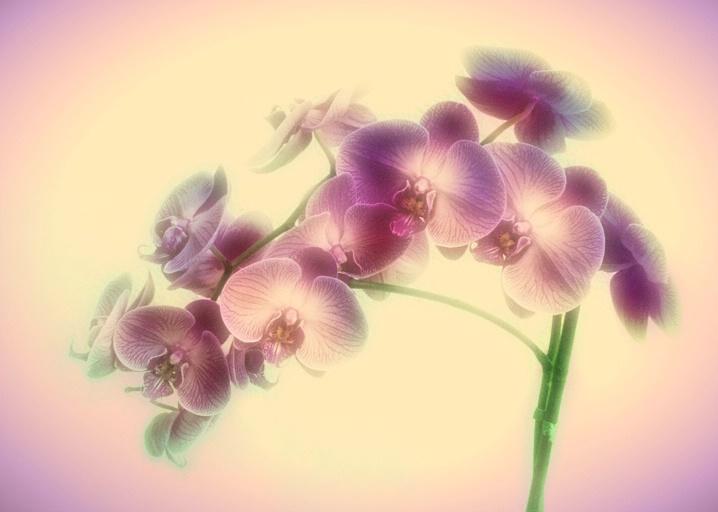 Orchid Fantasy