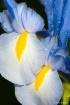 Blue/Yellow Iris