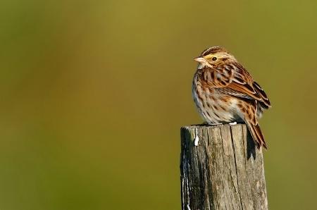 Solitary Sparrow