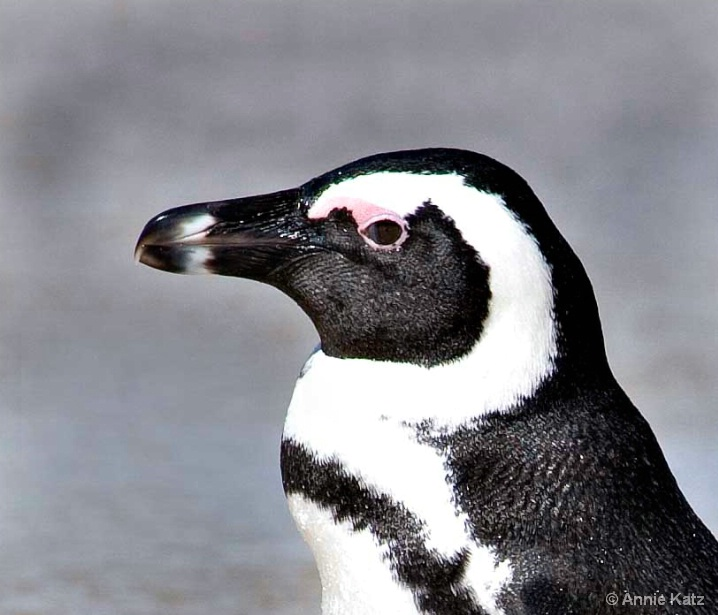 penguin_face - ID: 5963733 © Annie Katz