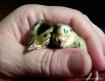 Sleepy Pheasant B...