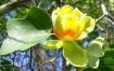 Tulip Poplar Tree...