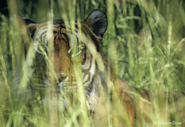Bengal Tiger in Grass-Panthera tigris - ID: 6008737 © William Dow