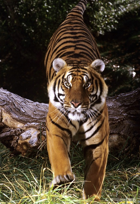Leaping Bengal Tiger 01-Panthera tigris - ID: 6008742 © William Dow