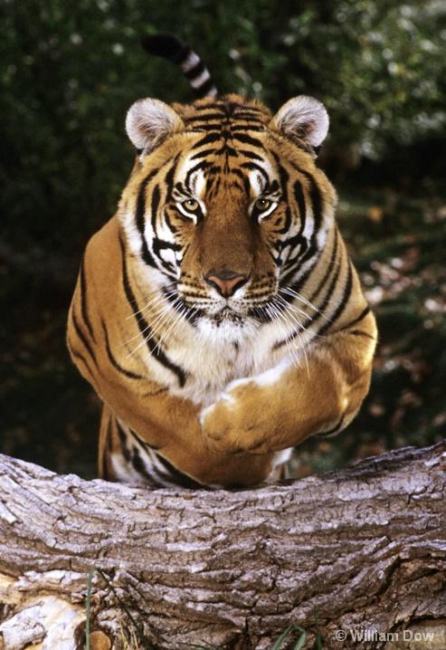Leaping Bengal Tiger 02-Panthera tigris - ID: 6008747 © William Dow