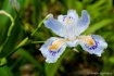 Iris in Kyoto