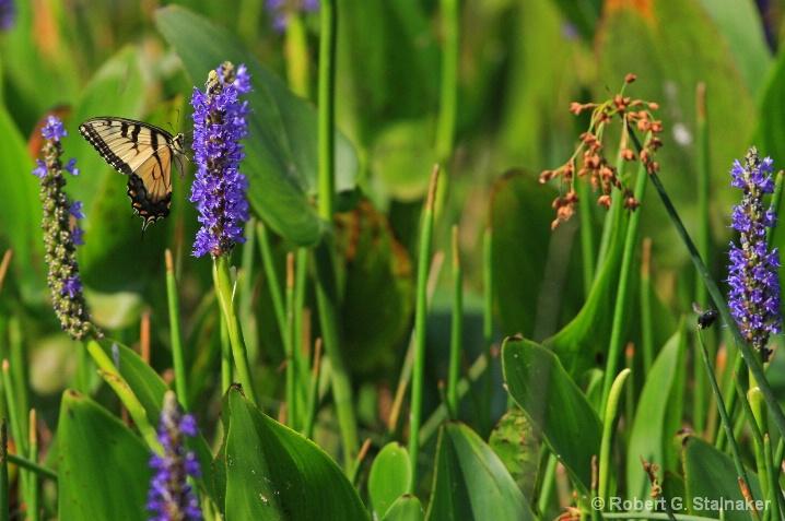 Flora-Florida #2 . . . Pickerelweed