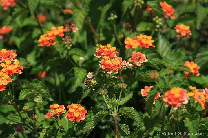Flora-Florida #4 . . . Lantana camara