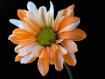 Orange & White