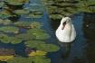 Swan among the Li...