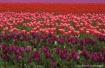 Tulips 08