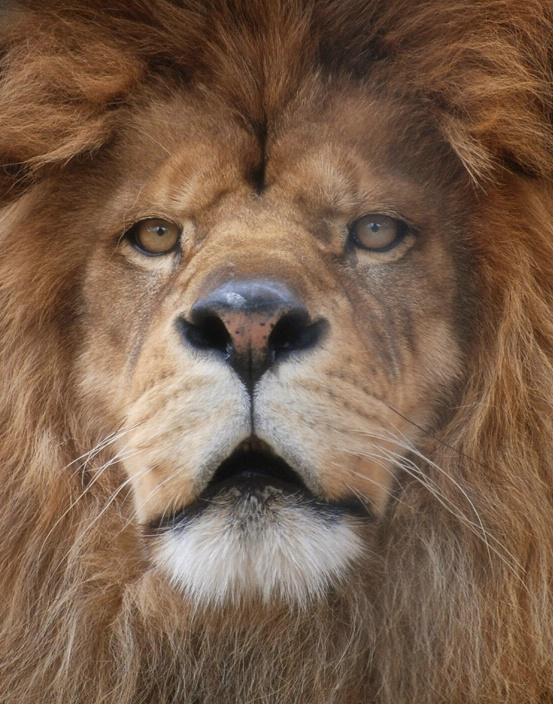 Lion Closeup Stare