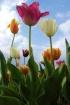skyscraper tulips
