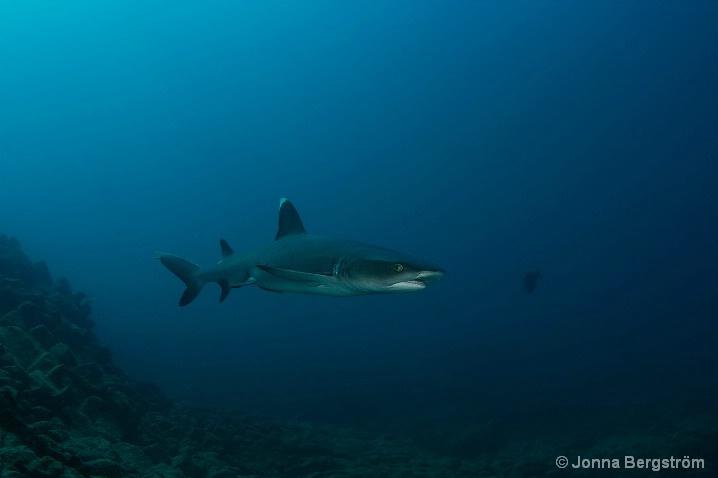 Galapagos reef shark