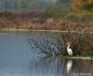 Egret on the Uppe...