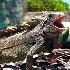 © Kristin A. Wall PhotoID # 6129665: iguana_yawn_f-367